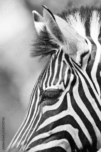 Poster Zebra black and white wild zebra in africa