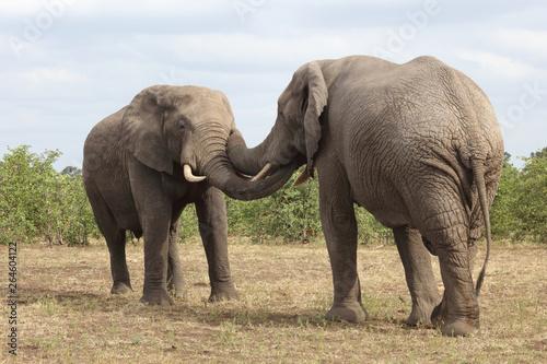 Foto op Plexiglas Afrika Afrikanischer Elefant / African elephant / Loxodonta africana