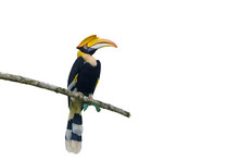 Great Hornbill On On The White Blackground