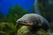 Face Of An Electric Eel Which ...