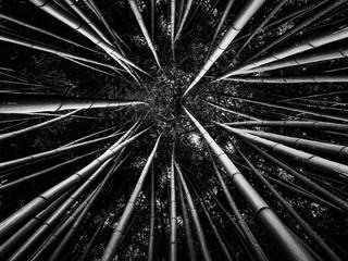 Fototapeta Bambus bamboo forest in black and white