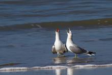 Screaming Seagulls In Flat Wat...