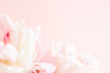 Blurred delicate petals of a pink peony. Unfocused abstract floral background