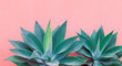 canvas print picture Plants on pink fashion concept. Aloe on pink wall background. Canary island