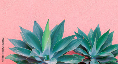 Recess Fitting Canary Islands Plants on pink fashion concept. Aloe on pink wall background. Canary island