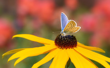 Butterfly Common Blue Polyomma...