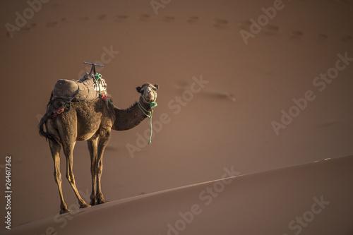 Spoed Fotobehang Kameel A camel is walking on some Sahara desert dunes during a beautiful sunset. Merzouga, Morocco, Africa