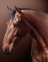 Studio Portrait Of Brown Horse