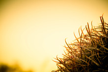 A Detail Of The Needles Of A Barrel Cactus With Sunlight Passing Through The Needles And A Blurred Colorful Sky Background Suitable As Copy Space.