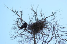 Silhouette Of A Crow's Nest On A Dry Tree Against The Blue Sky