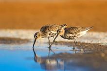 Cute Water Birds. Colorful Nature Background. Common Bird: Dunlin. Calidris Alpina.