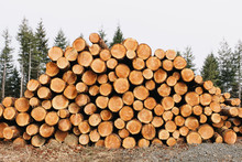 Stacked Logs, Freshly Logged Spruce, Hemlock And Fir Trees,Pacific County