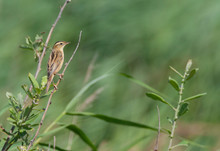 First-winter Aquatic Warbler (Acrocephalus Paludicola) Perched In Top Of Reed Bed At The Northern Tip Of Wadden Island Texel In The Netherlands. Seen On The Back.