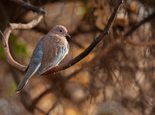 Laughing Dove Perched In A Tree