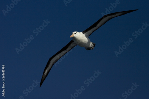 Slika na platnu Black-browed Albatross (Thalassarche melanophrys) in flight over the southern atlantic oceans near Antarctica