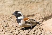 Male Cape Sparrow (Passer Melanurus) Standing On The Ground In Leshoto.