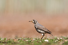 Groundscraper Thrush (Psophocichla Litsitsirupa) Standing On The Ground In A Safari Camp In Kruger National Park In South Africa.