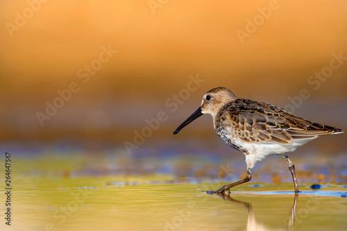 Cuadros en Lienzo Cute water birds