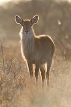 Backlight Waterbuck (Kobus Ell...