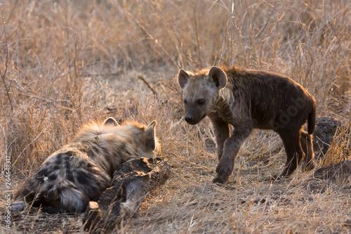 Spoed Foto op Canvas Hyena Spotted Hyena (Crocuta crocuta) in Kruger national park, South Africa.