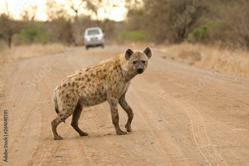 Spotted Hyena (Crocuta crocuta) in Kruger national park, South Africa. Walking on the road.