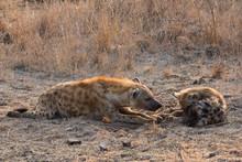 Spotted Hyena (Crocuta Crocuta...