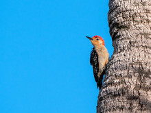 Red-bellied Woodpecker (Melanerpes Carolinus) Perched At A Tree