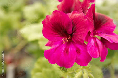 Poster Rose Lavender color geranium flowers and green garden in bloom.