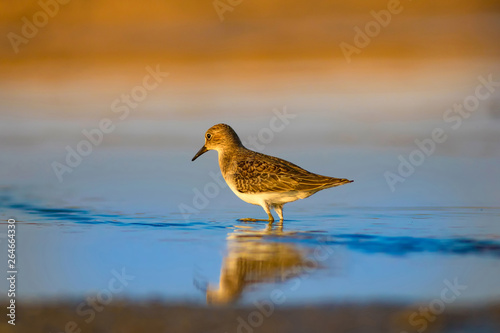 Fotografia, Obraz Cute little common water bird