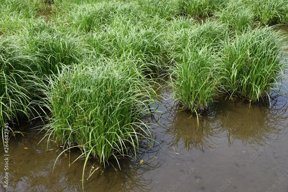 Fotografie, Obraz Carex dispalata is an aquatic plants.
