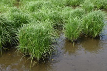 Carex Dispalata Is An Aquatic ...