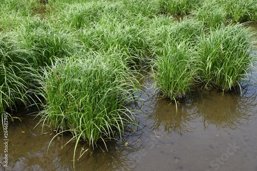 Fotomural Carex dispalata is an aquatic plants.