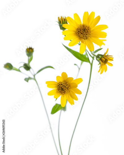 Photo Arnica (Arnica montana) - flowers isolated on white background