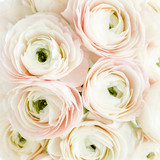 Bouquet of a lot of ranunculus pink color close up. Flat lay, top view. Ranunculus flower texture.