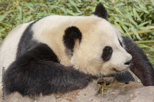 Stickers pour portes Panda Relaxed giant panda resting on a rock.