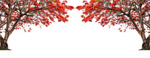 Flame Tree Or Royal Poinciana Tree.Big Tree Isolated On White Background