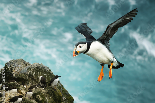 Close up of Atlantic puffin in flight Wallpaper Mural