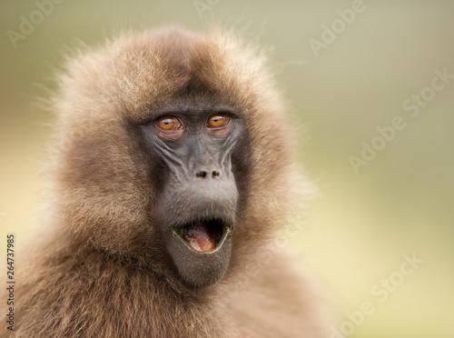 Foto op Plexiglas Aap Close up of a surprised female Gelada monkey