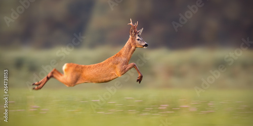 Photo sur Toile Cerf Roe deer buck, capreolus capreolus, sprinting fast in summer. Wild animal running. Energetic movement of deer in wilderness with copy space.
