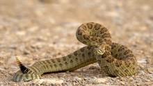 Closeup Of  Rattlesnake Ready To Strike