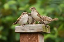 Portrait Of A House Sparrow Female Feeding Her Chicks