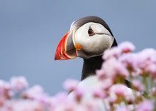 Close Up Of Atlantic Puffin In Thrift