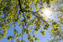 Sonne Scheint Durch Das Laub Einer Kastanie Im Biergarten