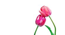 Tulips Flowers In Dew Drops Is...