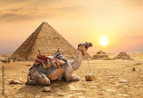 Poster Chameau Camel in sandy desert