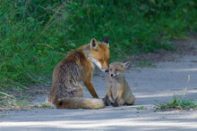 Red Foxes (Vulpes Vulpes), Adult With Young, Summer, Germany, Europe
