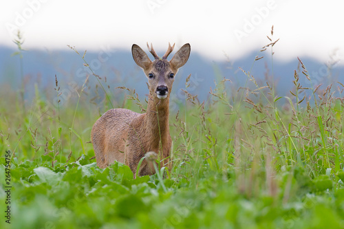 Poster de jardin Nature Western Roe Deer (Capreolus capreolus) in Summer, Roebuck, Germany, Europe