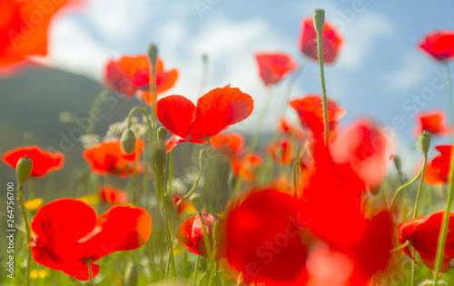 Montage in der Fensternische Rot Poppy