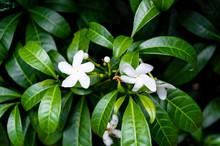 Flor Branca 2