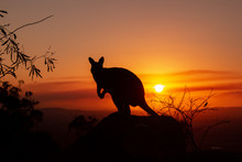 Silhouette Of A Kangaroo On A ...